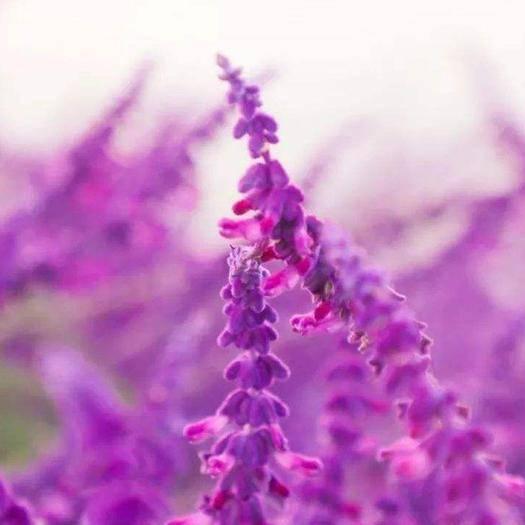 铁岭开原市 鼠尾草种子粉色辽宁货源