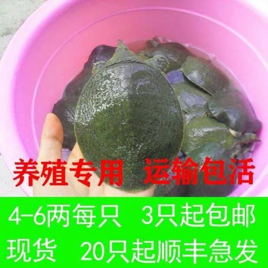 嘉兴海盐县生态甲鱼苗 4-6两外塘专用放养甲鱼包邮包活运到。放心购买