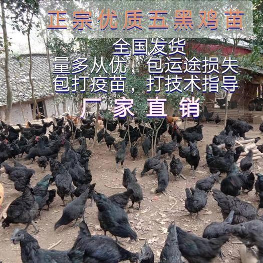 南宁西乡塘区 五黑鸡苗,包打疫苗,包技术指导,包运途损失