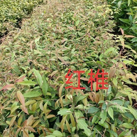 广州红椎树苗 红椎苗大量供应40~80公分高