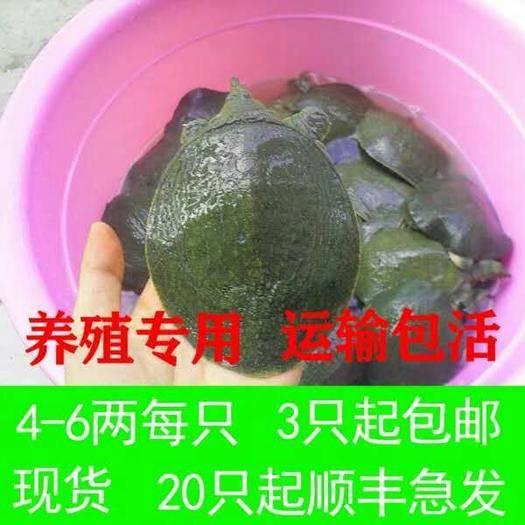 嘉兴海盐县 4-6两的的甲鱼苗大量有货 现在是放养甲鱼苗的最好时节。