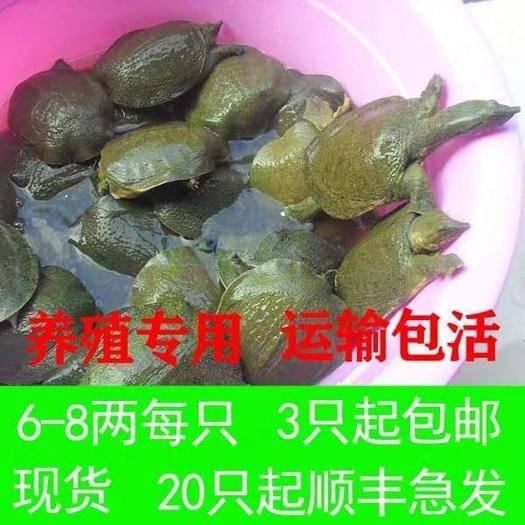 嘉兴海盐县生态甲鱼苗 6-8两外塘专用放养甲鱼包邮包活运到。放心购买。