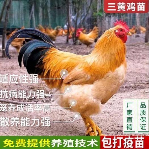 南宁西乡塘区三黄鸡苗 品种优良,价格优惠,包疫苗,包技术指导,全国发货