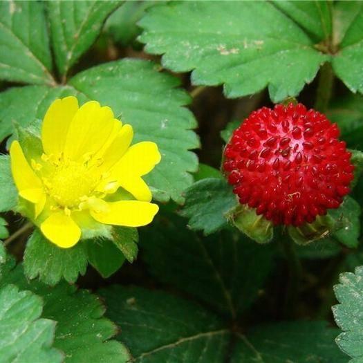 鐵嶺開原市蛇莓 舍莓種子遼寧貨源