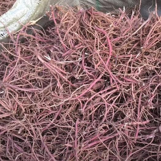 亳州譙城區紫菀 優質紫苑苗,發芽率95%
