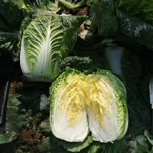 岳阳君山区超级黄心菜 黄心白菜3-6斤!25公分!专供加工厂、出口、市场、超市等!