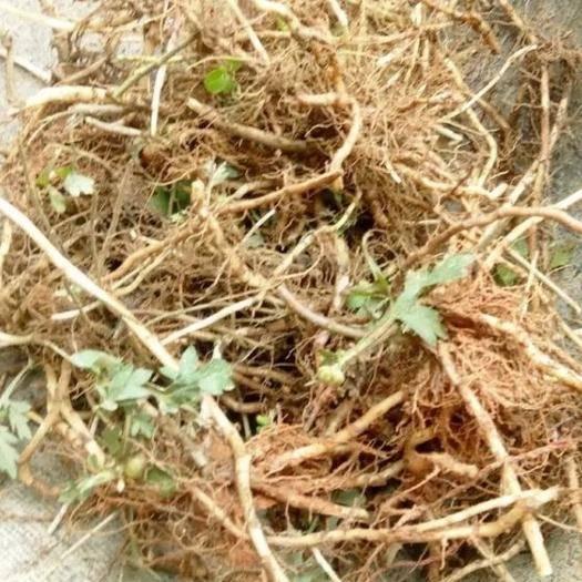 黔西安龙县艾草种子 艾草种根