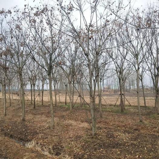 南京浦口區 黃山欒樹價格