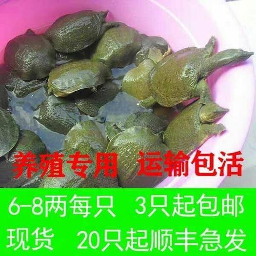 嘉兴海盐县 6-7两的的甲鱼苗大量有货 现在是放养甲鱼苗的最好时节