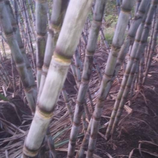 仙桃市青皮甘蔗 5 - 6cm 2.5 - 3m