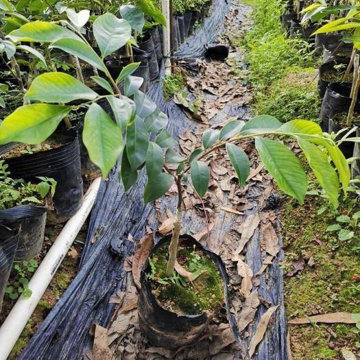 欽州靈山縣奇楠沉香樹 正宗嫁接苗,稀有珍貴品種,搶手貨,數量不多。