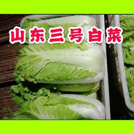 肥城市 山东肥城北京三号大白菜大量上市