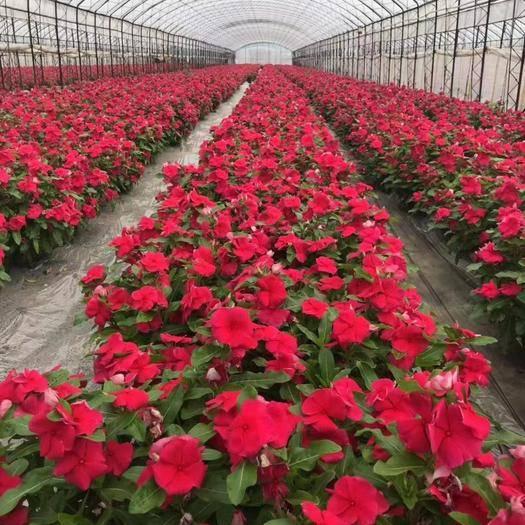 宿迁沭阳县长春花种子 长春花红色粉色混色种子大量现货
