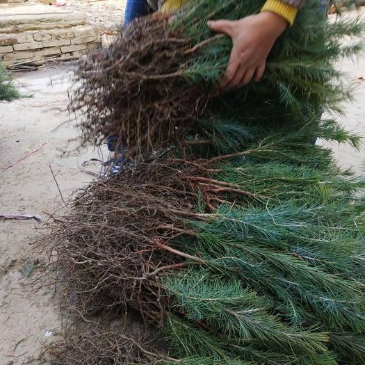 駐馬店汝南縣 出售 雪松小苗 雪松一米到八米雪松價格美麗 樹形好