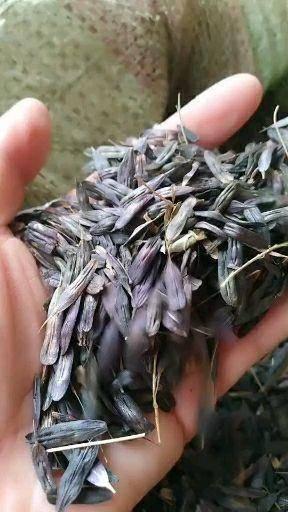 保定安国市 板兰根种子新货,净度高,发芽率高板蓝根子