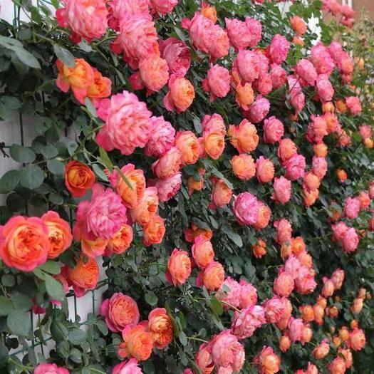 平邑县 蔷薇花苗,优质蔷薇苗,耐干旱,耐瘠薄,基地急售现挖现卖