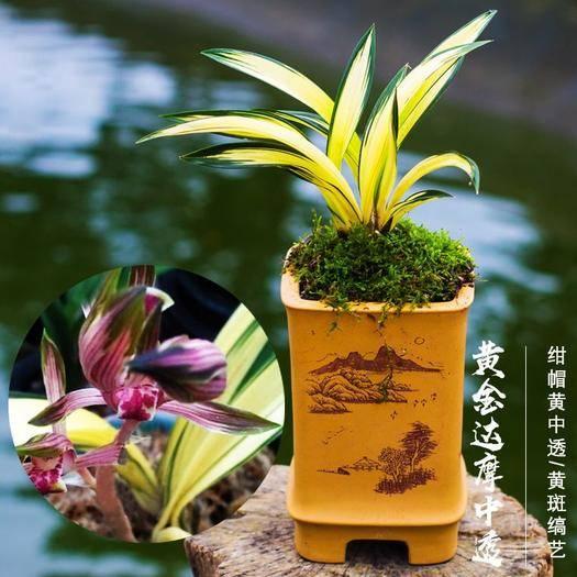 漳州南靖縣 濃香室內蘭花盆栽 矮種中透黃金達摩 墨蘭線藝花卉書房擺設花
