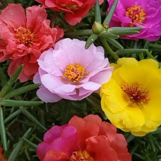 临沂郯城县太阳花种子 重瓣太阳花,四季可播