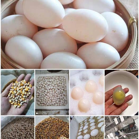 洛陽洛龍區 農家鴿場|優質鴿子蛋 |鴿蛋包郵 |食用受精鴿蛋 |新鮮鴿蛋