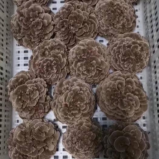 上海奉贤栗蘑 上海地区供应优质新鲜优质舞茸