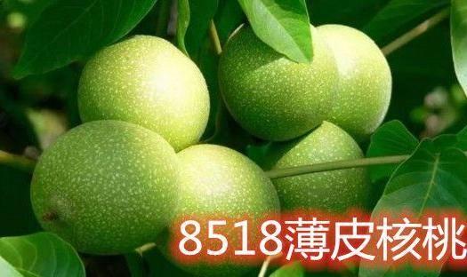 平邑县 薄皮核桃苗 基地直发 现发现挖