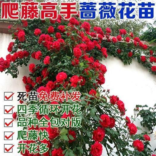 平邑縣 四季開花薔薇,紅,黃,白,粉,藍,綠,紫,當年開花,南北種植