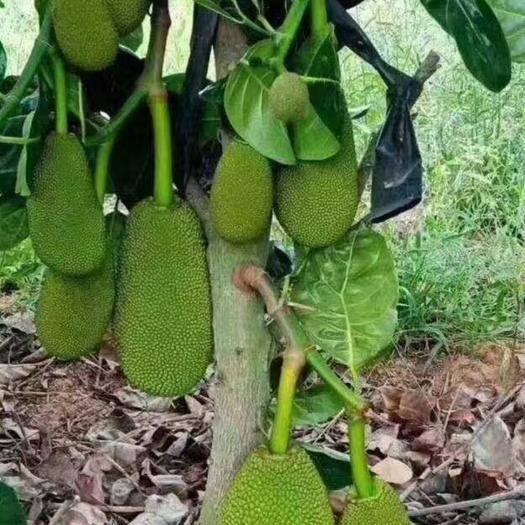 钦州灵山县 泰国12号菠萝蜜苗