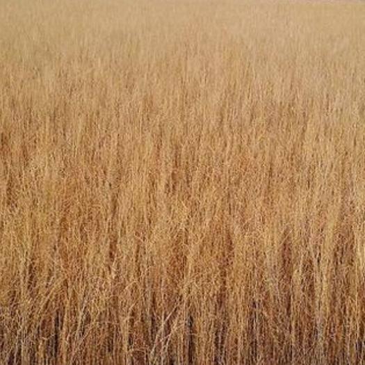 民勤县 本人有8亩地的梭梭苗长势良好,有意者qq253783540