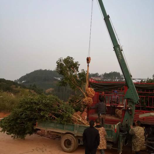 靖州苗族侗族自治縣 8公分綠化楊梅樹 基地直供 枝形優美 帶土移植成*率高