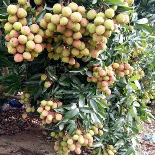湛江廉江市 30年荔枝树龄 荔枝色泽靓 果大捆口感一流,欢迎实地考察。