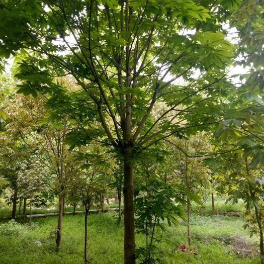 西安周至縣 低價出售10--15公分七葉樹陜西貨源