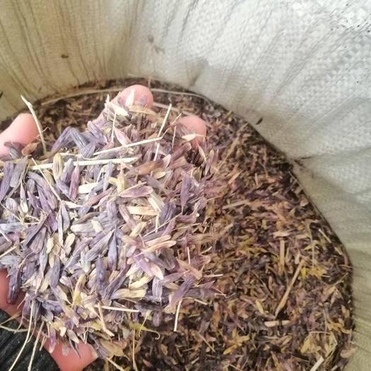 榆林米脂县板兰根种子 板蓝根种子