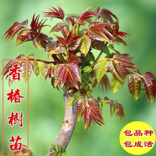 临沂平邑县红香椿苗 香春芽树苗,适合南北方种植,基地直销三包发货。