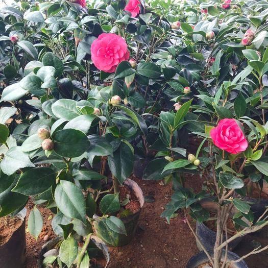 平邑县七星茶花苗 庭院绿化 茶花苗 盆栽茶花苗 当年开花 多色可选