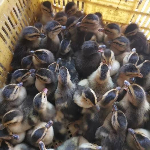南宁西乡塘区 专业孵化大种麻鸭苗.可以来场参观.可以发往全国各地