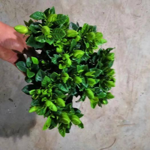 廣州 160#小葉梔子花,一件50裝,價5元