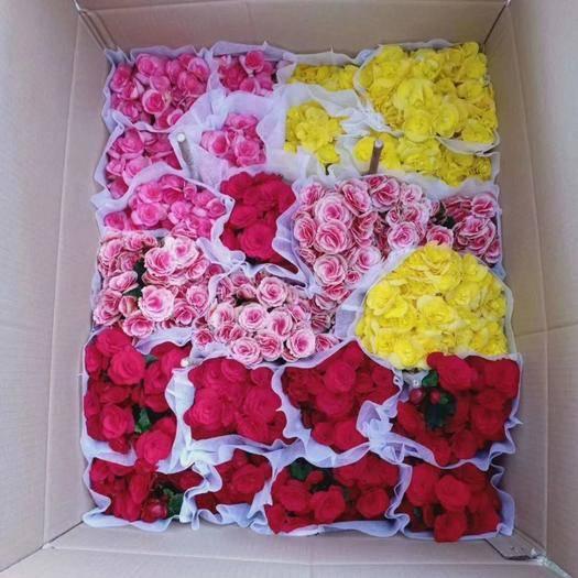 廣州荔灣區 140# 110# 玫瑰海棠、一件24盆,5.5