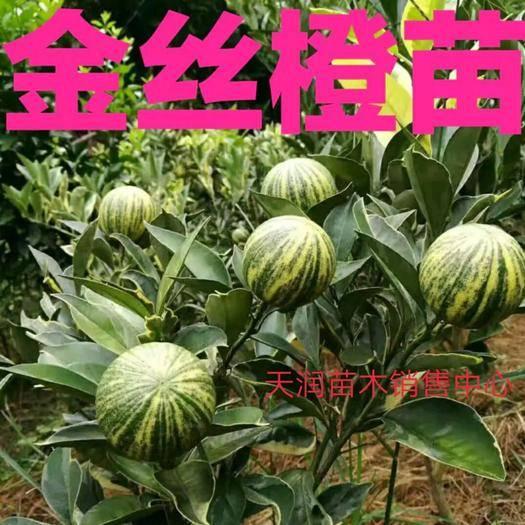 临沂平邑县 新品种橙子树苗美国彩叶金丝橙嫁接树苗,南北方种植死苗免费补发