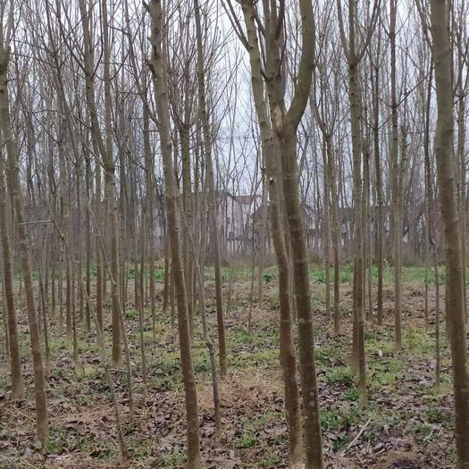 漢中城固縣 我家的七葉樹質量好,成活率高,歡迎各地老板前來購