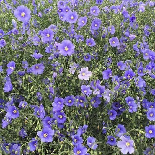 潍坊青州市蓝花亚麻种子 蓝亚麻,蓝亚麻花海,蓝亚麻盆苗
