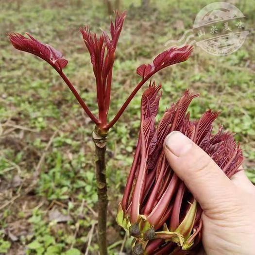 达州大竹县红香椿芽 树上蔬菜红香椿春芽,