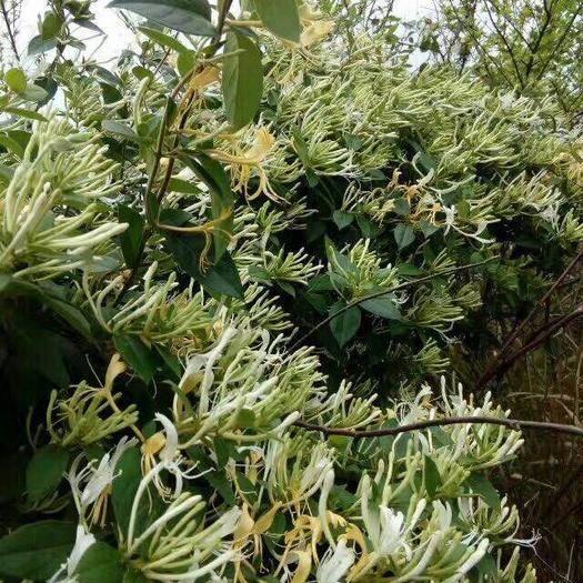 桂林全州縣 大量金銀花,哪位老板需要的請速度聯系,最好的中草藥