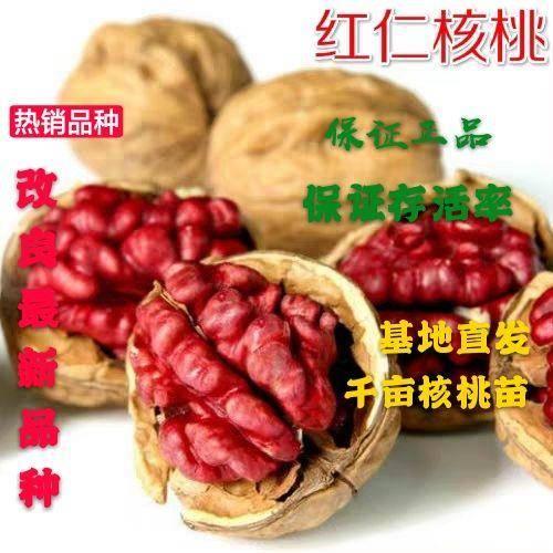 平邑县 美国红仁核桃苗 皮薄个大 口感酥脆 营养价值高 热卖新品种