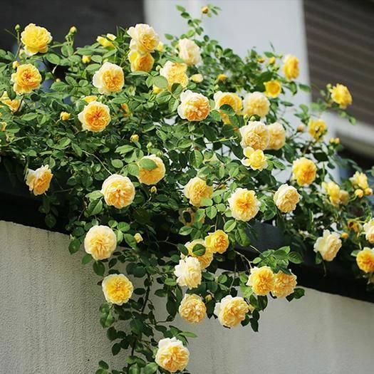 平邑县蔷薇苗 美丽的另一种诠释,蔷薇,品种齐全,基地直售