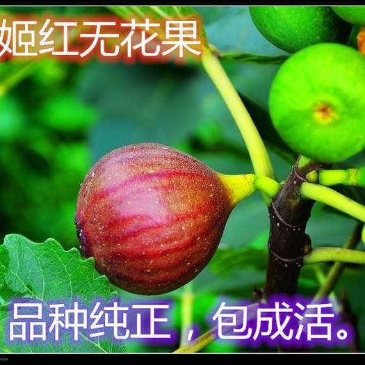 临沂平邑县 波姬红无花果树苗,当年结果,品种保真,可签合同!