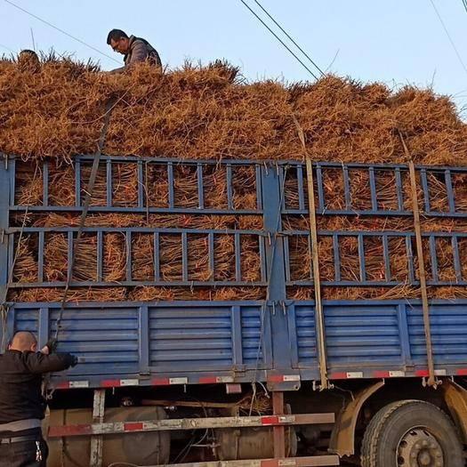 运城绛县 直销纯真药用连翘苗500万棵
