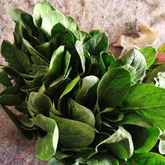 邯郸丛台区 供应菠菜18-25公分高度,本地特产价格低产量大