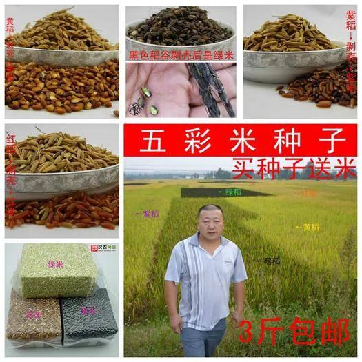 南昌东湖区 五彩米水稻种子包邮