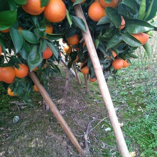 成都简阳市 塔罗科血橙苗,品质保证,树苗青秀无病