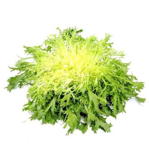 西安苦苣种子 黄心苦苣